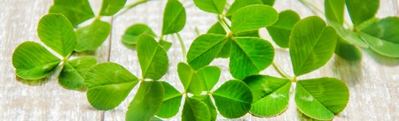 Clover leaf. Happy St. Patrick's Day. Selective focus nature