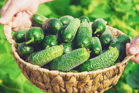 homemade cucumber cultivation and harvest in the hands of man. nature.