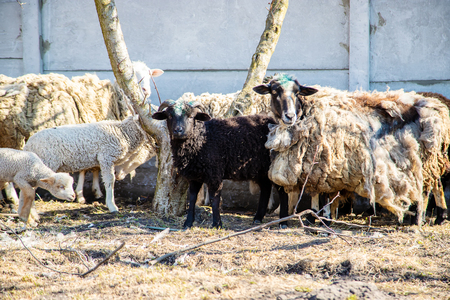 not sheared sheep in the yard. selective focus. nature.