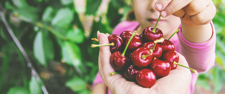 The child is picking cherries in the garden. Selective focus. nature. Stok Fotoğraf