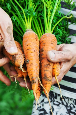 organic homemade vegetables in the hands of men. nature.