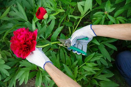 gardener pruning flowers Garden. Selective focus. nature flowers 写真素材