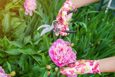 gardener pruning flowers peonies pruners. selective focus. nature Stock Photo