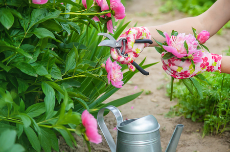 gardener pruning flowers peonies pruners. selective focus. nature Reklamní fotografie