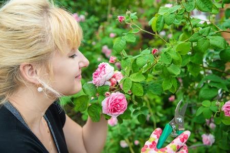 gardener pruning tea rose shears. selective focus.