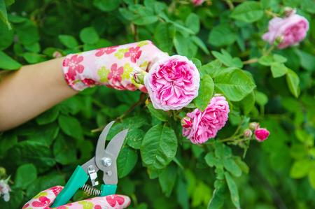 gardener pruning tea rose shears. selective focus. nature