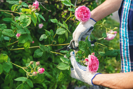 gardener man pruning tea rose shears. selective focus. nature.