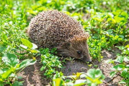 little hedgehog in nature. animals. selective focus nature