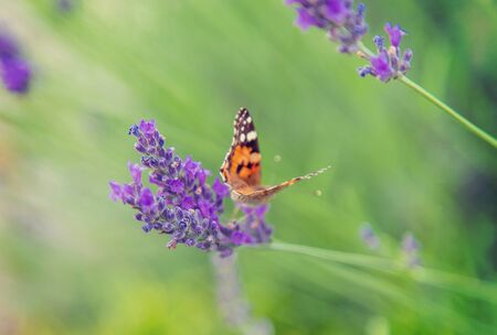 Blooming lavender field. Butterfly on flowers. Selective focus. nature Foto de archivo