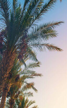 palmiers dattiers contre le ciel. Mise au point sélective. nature. Banque d'images