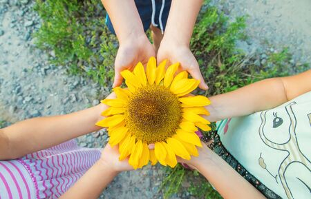 children are holding a sunflower in their hands. Selective focus. nature.