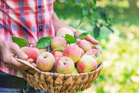 Man gardener picks apples in the garden in the garden. Selective focus. nature.