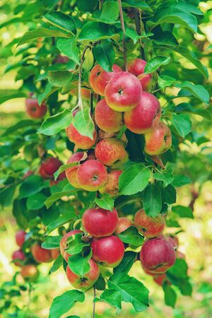 Äpfel an einem Baum im Garten. Selektiver Fokus. Natur. Standard-Bild