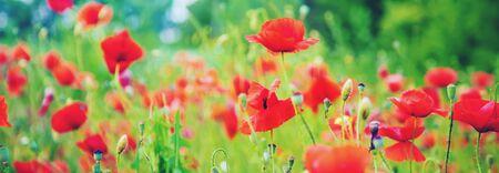 Feld mit blühenden roten Mohnblumen. selektiver Fokus. Natur