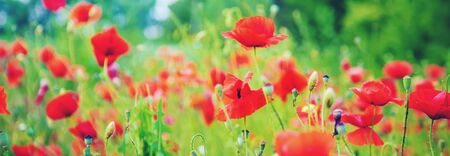 field with blooming red poppies. selective focus. nature