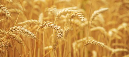 Wheat field on a sunny day. Selective focus. nature.