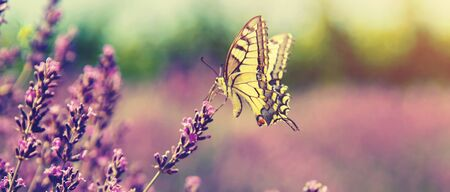 Blooming lavender field. Butterfly on flowers. Selective focus. nature Stock Photo