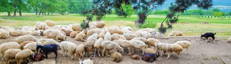 Flock of sheep in the mountains. Travel in Georgia. Selective focus. nature.
