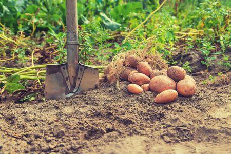 Dig potatoes in the garden. Selective focus. nature Stok Fotoğraf