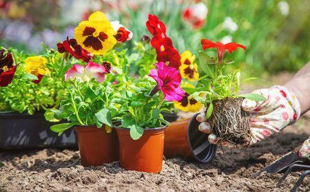 The gardener is planting a flower garden. Selective focus. nature. Archivio Fotografico