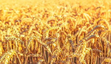 Wheat field, spikelets of wheat. Selective focus nature