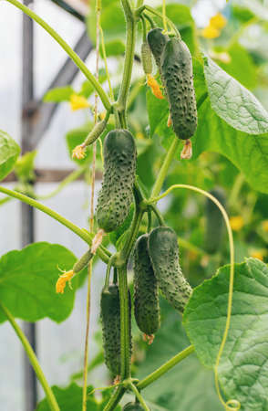 Homemade cucumbers grow on stems. Selective focus. nature. 스톡 콘텐츠