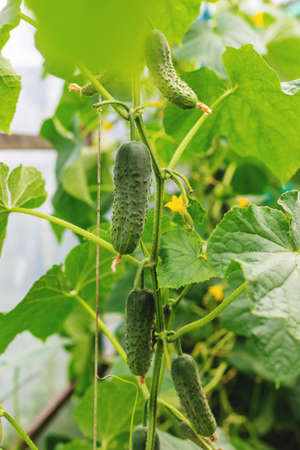 Homemade cucumbers grow on stems. Selective focus. nature. 스톡 콘텐츠 - 152401845