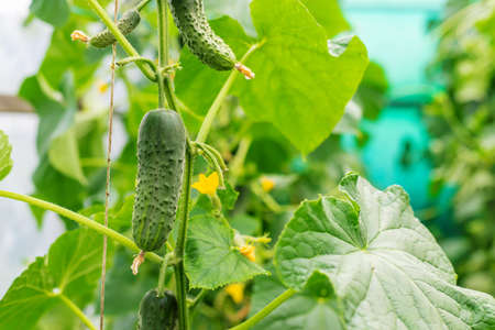 Homemade cucumbers grow on stems. Selective focus. nature. 스톡 콘텐츠 - 152401849