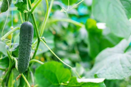 Homemade cucumbers grow on stems. Selective focus. nature. 스톡 콘텐츠 - 152401855