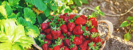 Strawberry berries in a basket in the vegetable garden. Selective focus. food. 스톡 콘텐츠