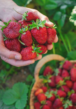Strawberry in the hands of a farmer in the garden. Selective focus. food. 스톡 콘텐츠
