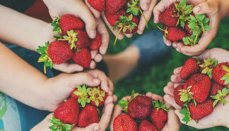Summer strawberries in the hands of children. Selective focus. Food. 스톡 콘텐츠