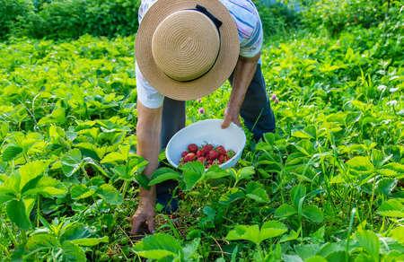 Grandmother picking strawberries in the garden. Selective focus. Nature. Standard-Bild