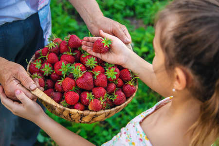 The child and grandmother pick strawberries in the garden. Selective focus. Kid.