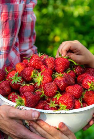 A man farmer and a child picking strawberries in the garden. Selective focus. Nature.