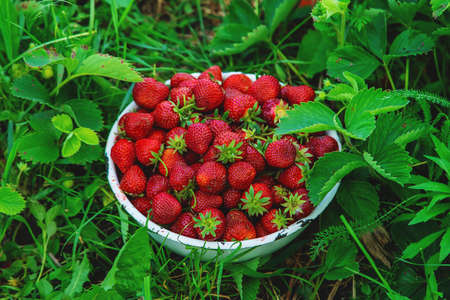 Harvest strawberries in a basket in the garden. Selective focus. Food. Standard-Bild