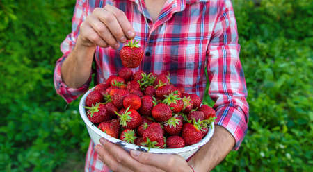 A male farmer picks strawberries in the garden. Selective focus. People.