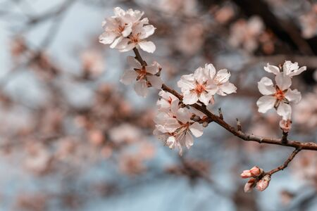 Blooming almonds with bokeh effect and tonning - sprng in Malka Vereya, Bulgaria Stok Fotoğraf