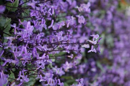 Lavender 写真素材