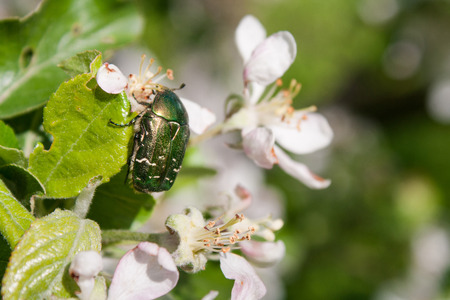 Golden and green chafer on white apple-tree flowers