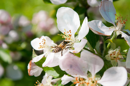Bee collects nectar in apple tree flowers in spring garden