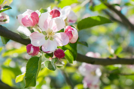 Branch with bouquet of pink apple buds and flower Stock Photo