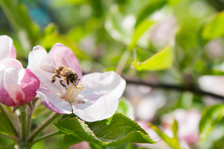 Bee collects nectar in apple tree flowers in the spring garden