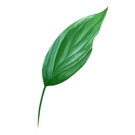 Vector green leaf isolated on white. Realistic foliage. Botanic element. Nature design. Leaves close-up. Illustration