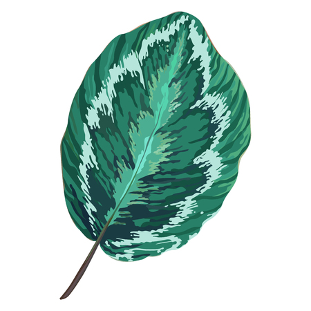 Vector green leaf isolated on white. Realistic foliage. Botanic element. Nature design. Tropical Leaves close-up.