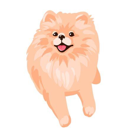 Pomeranian Spitz puppy isolated on white background.