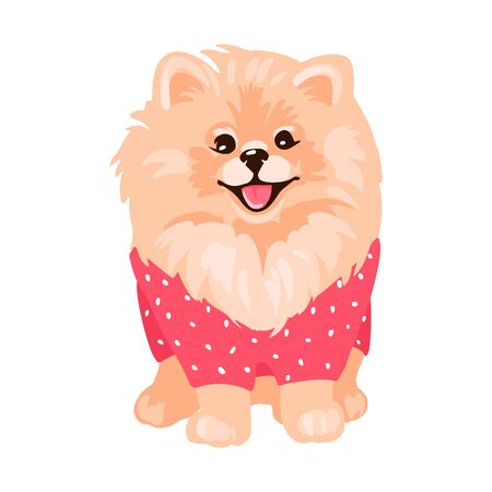 Pomeranian Spitz puppy isolated on white background.
