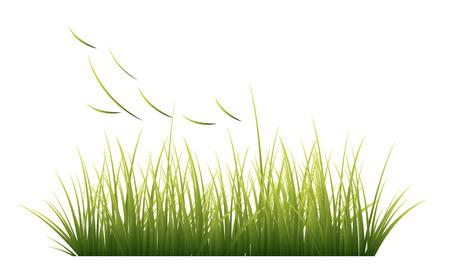 sedge: Grass, vector
