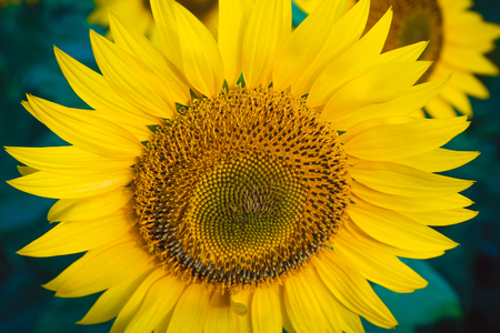 Field of sunflowers/ Field of sunflowers
