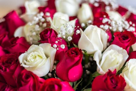 beautiful red and white roses Stock Photo